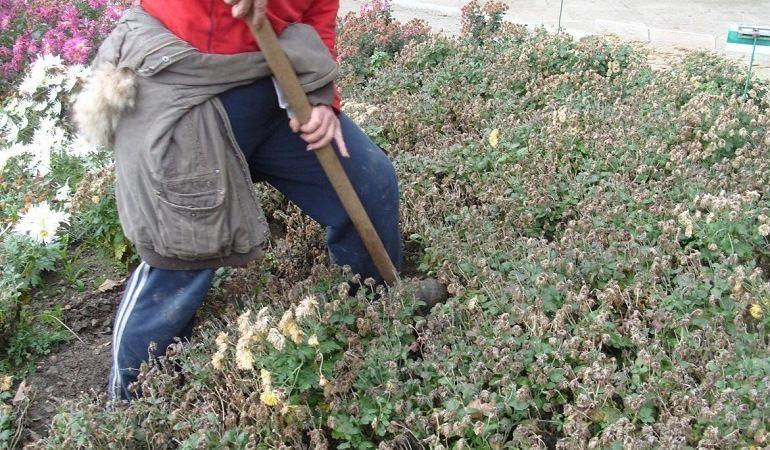Выкапывание хризантем осенью