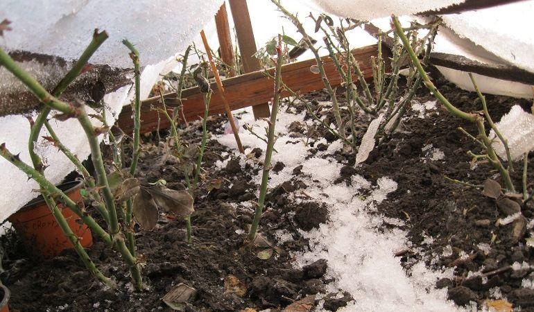 Хранение хризантем в траншее