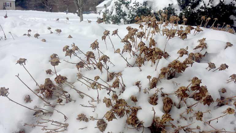 Зимовка хризантем в открытом грунте