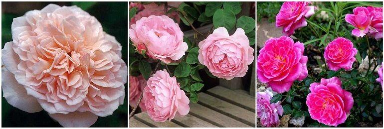 Розовые гибриды
