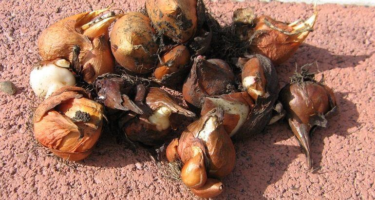 Болезни луковиц тюльпанов