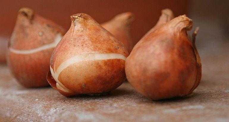 Отбор луковиц тюльпанов для посева