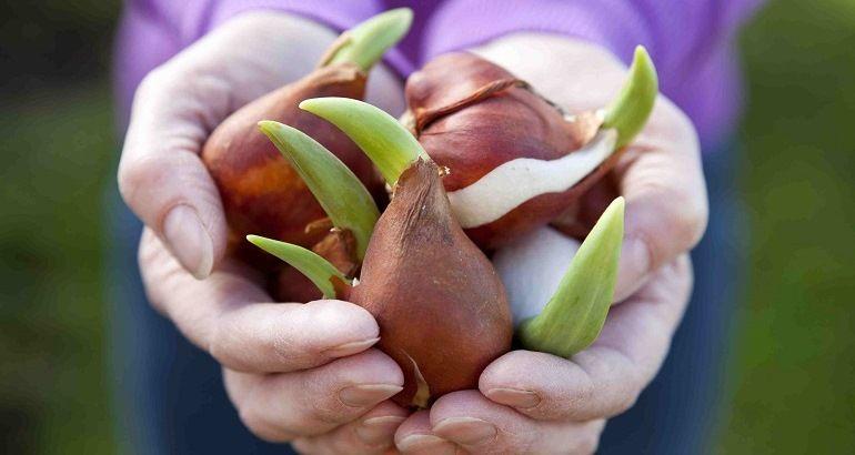 Стимуляторы роста для тюльпанов