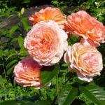 Посадка черенков роз осенью в открытый грунт