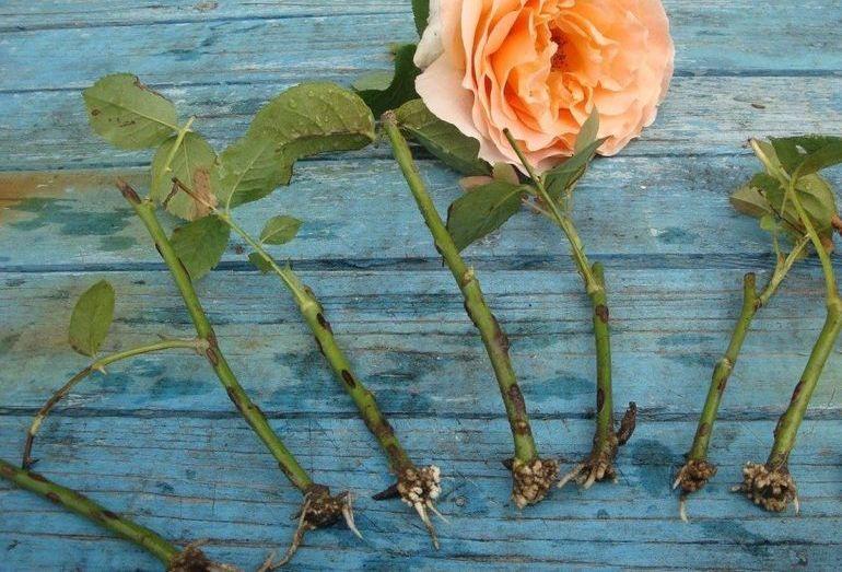 Черенки розы, готовые к посадке