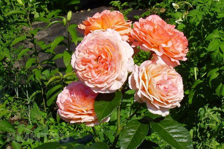 Как вырастить розы из черенка осенью