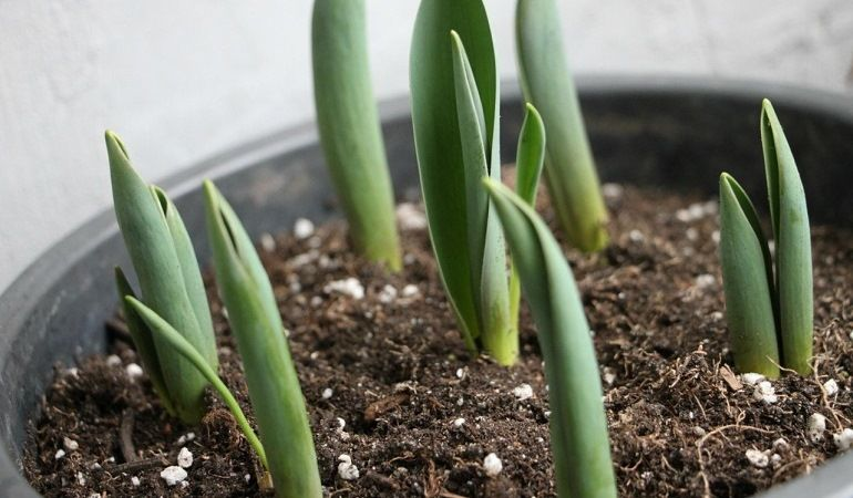 Проросшие ростки тюльпанов