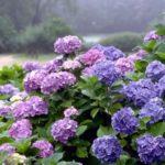 Сезонные удобрения для гортензии
