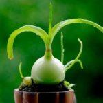 Выращивание комнатного индийского лука