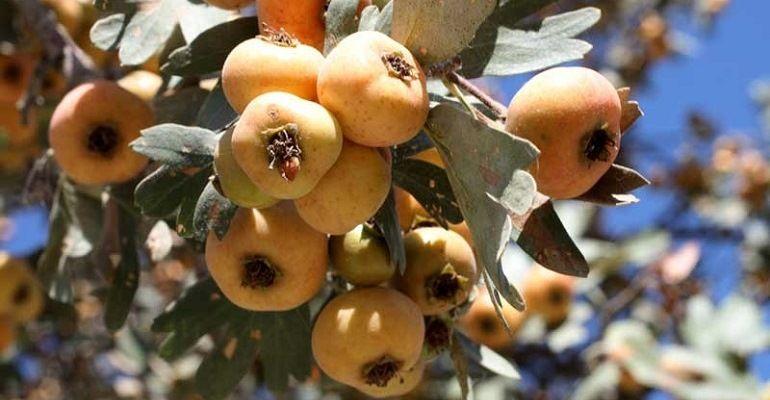 Понтийский крупноплодный садовый боярышник