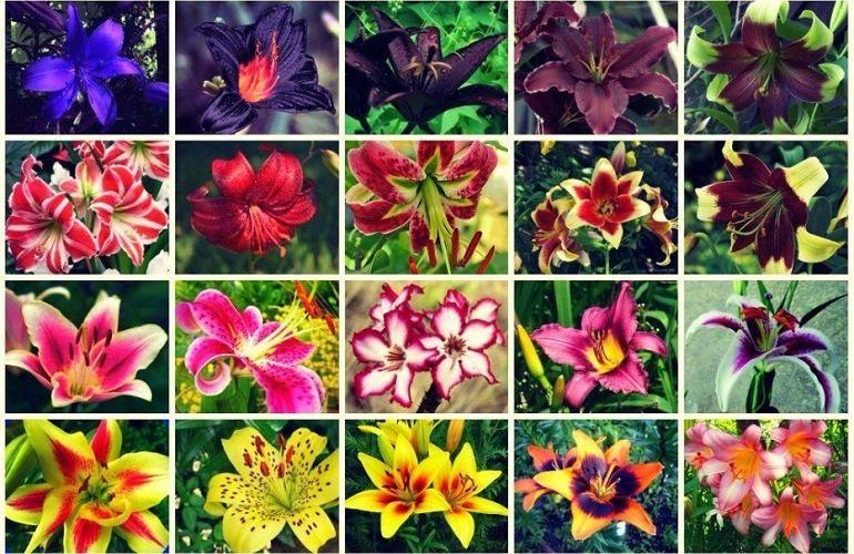 Сорта и виды лилий