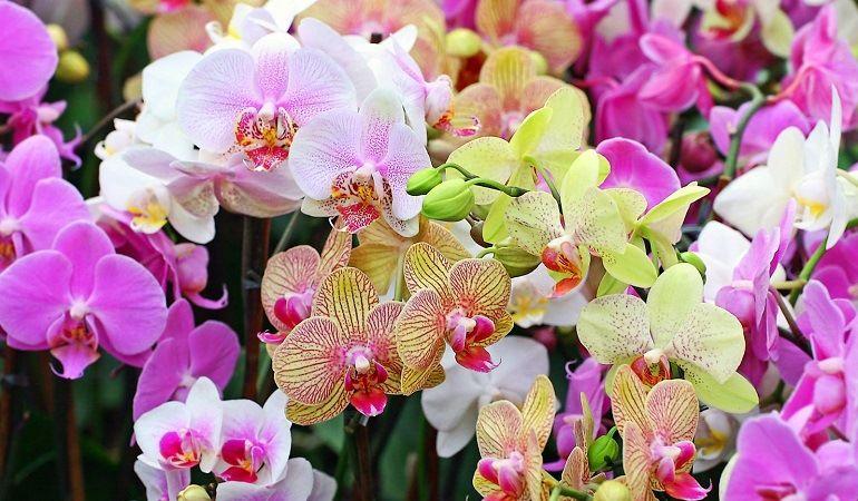 Орхидея: символизм и легенды