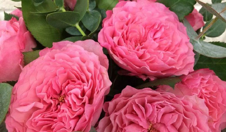Гибриды пионовидных роз