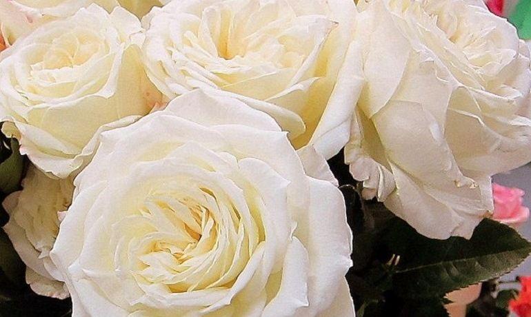 Белые пионовидные розы