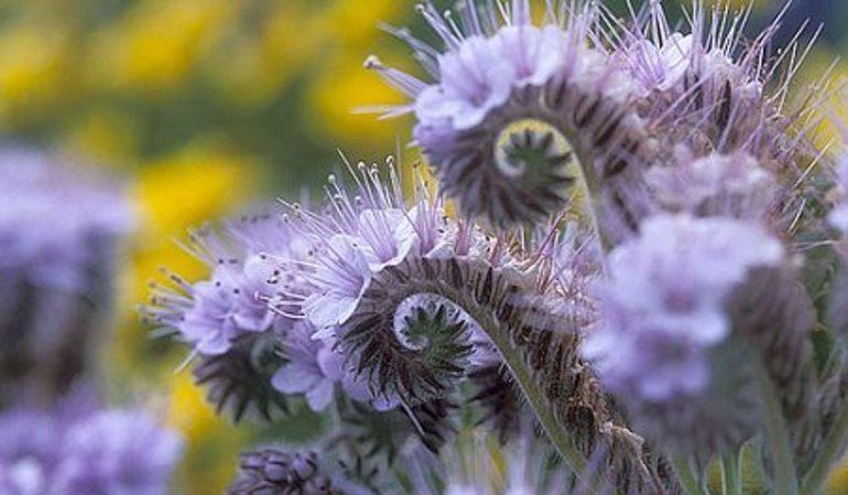 Фацелия: особенности растения