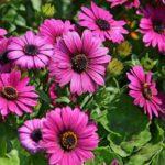 Цветы диморфотека