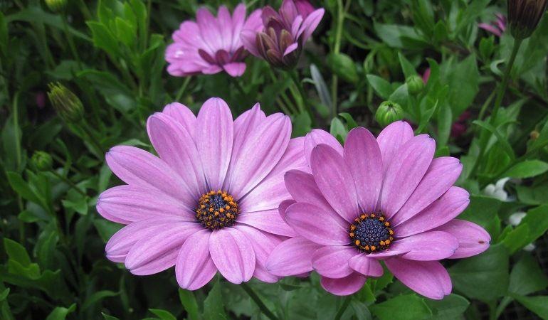 Цветущая диморфотека