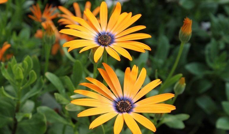Цветение и сбор семян диморфотеки