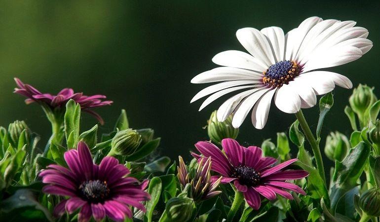 Диморфотека - цветение