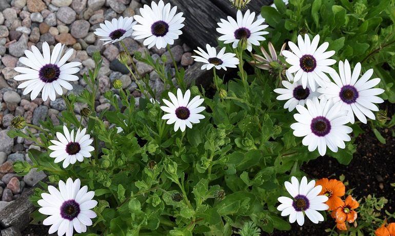Диморфотека: выращивание в открытом грунте