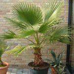 Домашние пальмы