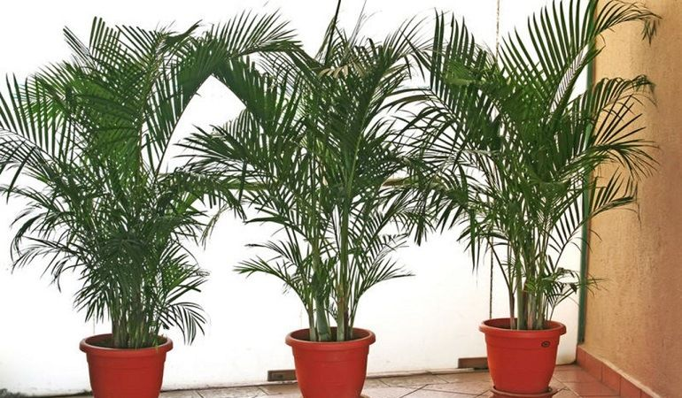 Домашняя пальма: разновидности