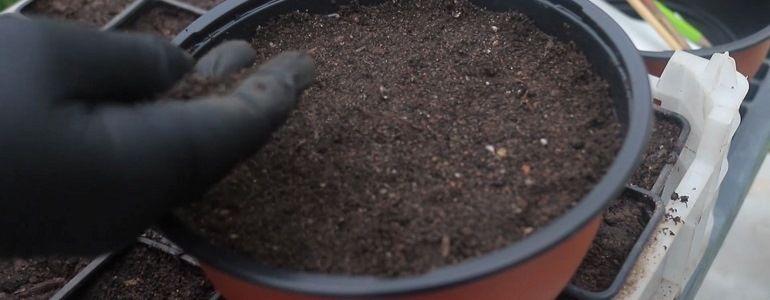 Семена гортензии для посадки