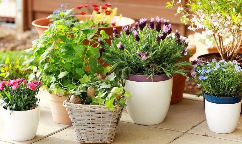 Комнатные растения: удобрения золой