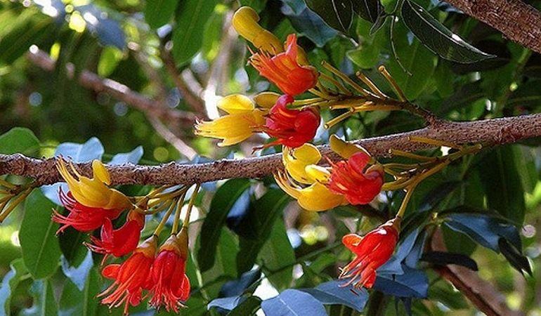 Цветущий кастаноспермум