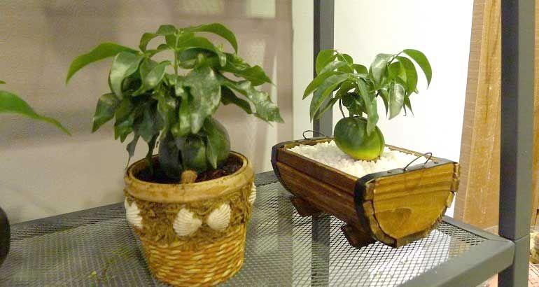 Кастаноспермум - правила выращивания