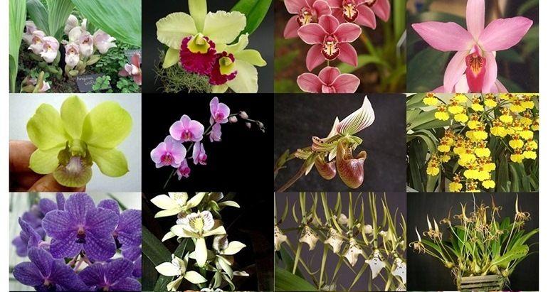 Сорта орхидей