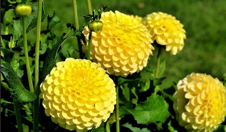 Желтые георгины