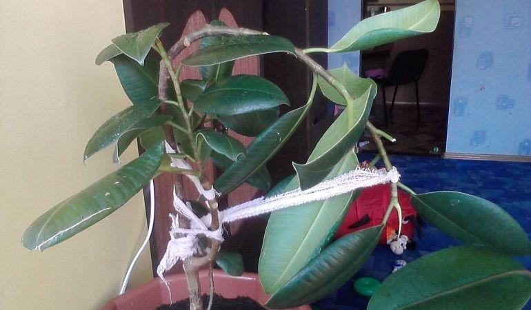 Подвязка срезанных частей фикуса