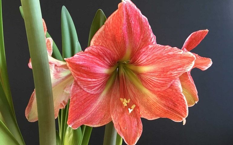 Температура и освещение для лилий