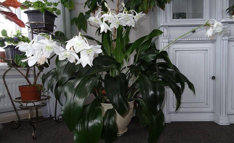 Место расположения комнатных лилий в квартире