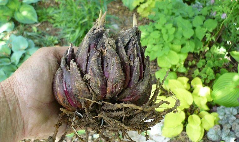 Луковицы-гибриды лилий