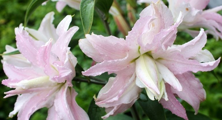 Махровые лилии