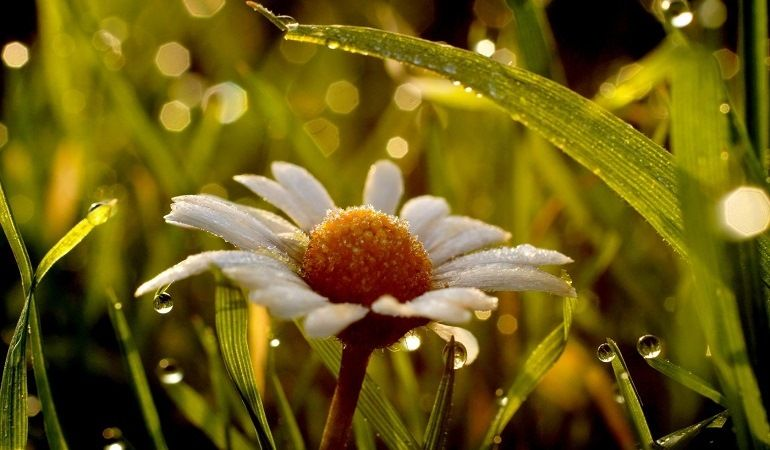 Ромашка в росе