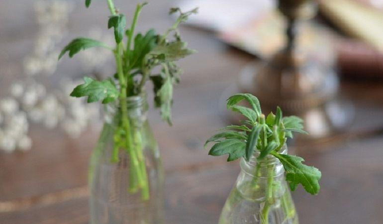 Укоренение черенка хризантемы в воде