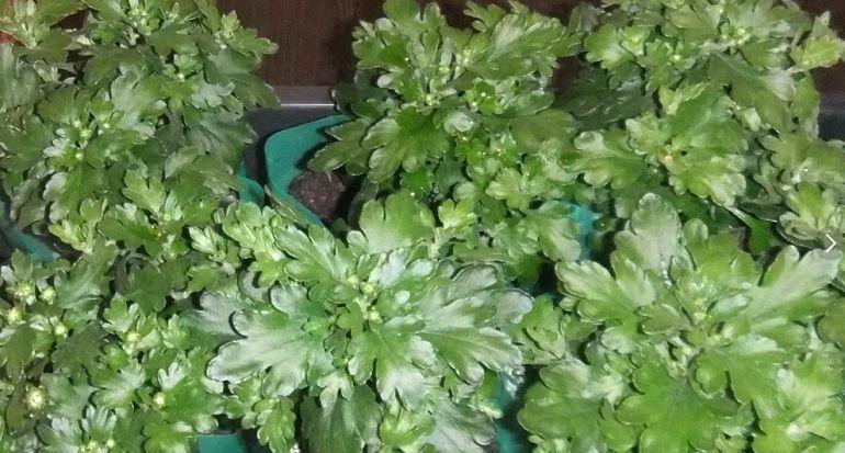 Как ухаживать за пересаженным черенком хризантемы