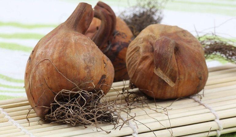 Безвременник: заготовка луковиц