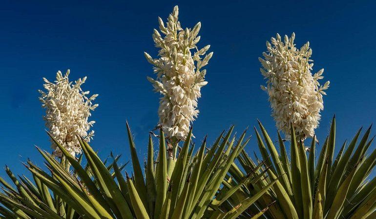 Декоративный цветок юкка