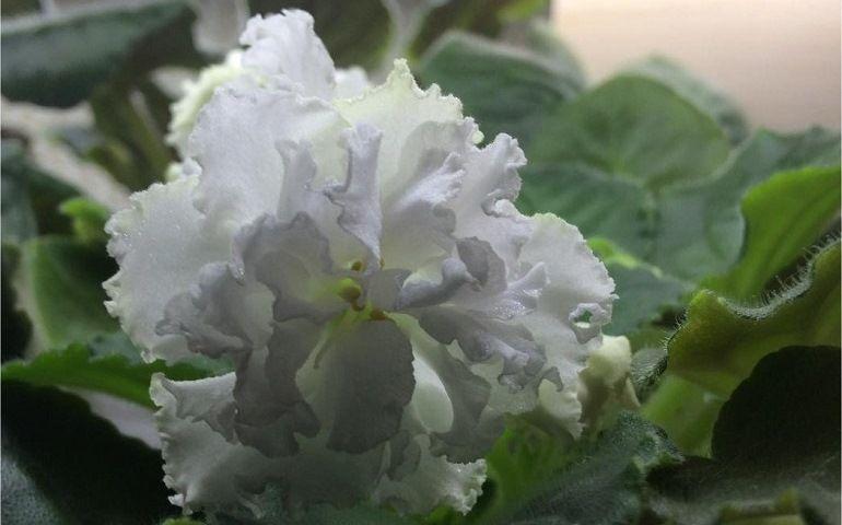 Особенности сорта фиалки Букет невесты
