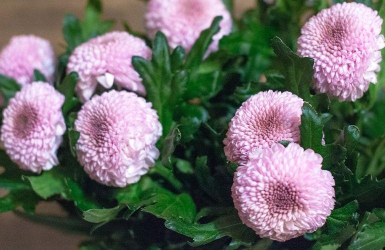 Шаровидные и полушаровидные хризантемы