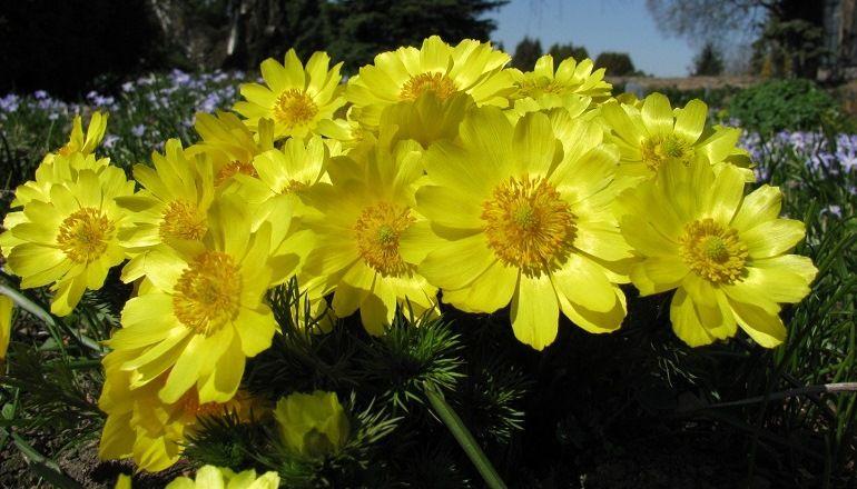 Как выглядит цветок горицвет