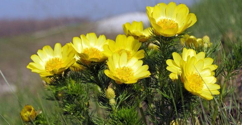Горицвет (род Адонис, семейство Лютиковые)