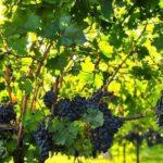 Как правильно обрезать виноград осенью