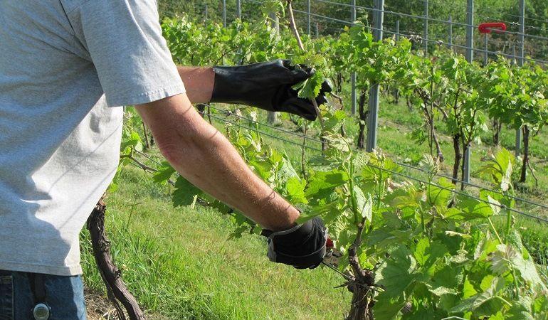 Необходимость обрезки винограда