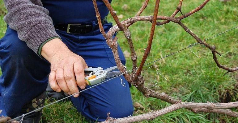 Правила обрезки винограда осенью