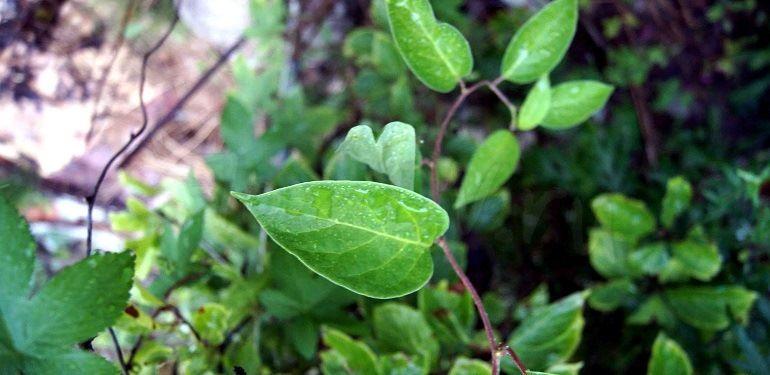 Стебли и листья лимонника китайского